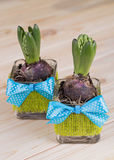 Hyacinths in glass pots with the decoration of green jute and blue bow Stock Photography