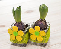 Hyacinths in glass pots with the decoration of green jute and yellow flower on a wooden background Stock Photography