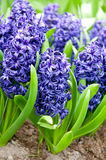 Hyacinths growing in field in Holland. Delightful fragrant bluebells in spring in dutch park Stock Images
