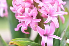 Hyacinths. Hyacinth blooming in a clay pot Royalty Free Stock Images