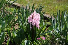 Hyacinths or Hyacinthus flowering plant full of small blooming pink flowers growing in single spike or raceme surrounded with long. Hyacinths or Hyacinthus stock photography