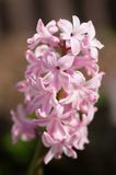 Hyacinths (Hyacinthus) Royalty Free Stock Photography