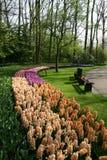 Hyacinths in the Keukenhof gardens. stock photo