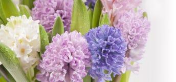 Hyacinths macro. Multicolored hyacinths macro spring postcard Royalty Free Stock Photography