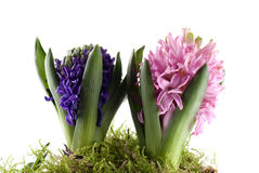 Hyacinths In Moss Royalty Free Stock Images