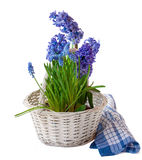 Hyacinths and muscari in a white basket Royalty Free Stock Images
