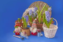 Hyacinths  next to the watering can and gnome  mass production Stock Photography