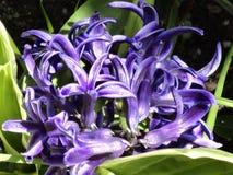 Hyacinths on Parade Stock Photos