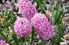 Hyacinths Stock Photography