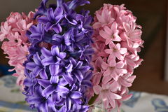 Hyacinths. Pink and purple flowers and perfumed Royalty Free Stock Images