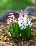 Hyacinths. In pink and white Royalty Free Stock Photos