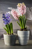 Hyacinths in a pot. Royalty Free Stock Photography