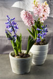Hyacinths in a pot. Royalty Free Stock Photos