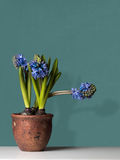 Hyacinths in a Pot on Table Stock Photo