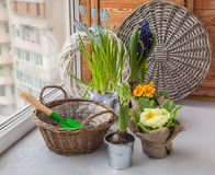Hyacinths and primroses near the basket and a shovel on the wind Royalty Free Stock Photos