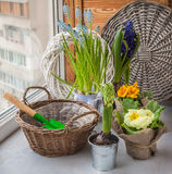 Hyacinths and primroses near the basket and a shovel on the wind Stock Images