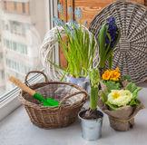 Hyacinths and primroses near the basket and a shovel on the wind Royalty Free Stock Photography