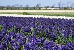 Hyacinths roxos Imagens de Stock
