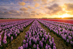 Hyacinths roxos Imagens de Stock Royalty Free