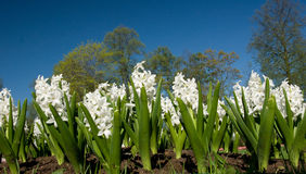 Hyacinths. Shot with a low point. Stock Photo