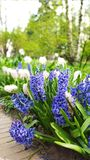 Hyacinths in the spring Stock Image