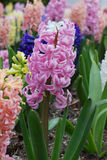 Hyacinths in spring garden Stock Photos