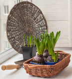 Hyacinths in a tray and garden shovel Royalty Free Stock Photography