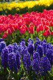 Hyacinths, tulips and daffodils in spring. Blue hyacinths, red tulips and yellow daffodils in spring Royalty Free Stock Photos