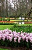 Hyacinths and Tulips at Keukenhof Stock Photo