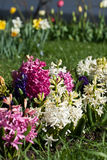 Hyacinths and a tulips Royalty Free Stock Images