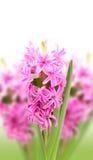 Hyacinths on white background Stock Image