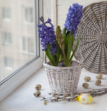 Hyacinths in a white basket and easter eggs Stock Photography