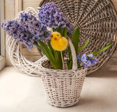 Hyacinths in a white basket Stock Photography