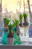 Hyacinths in the window Royalty Free Stock Images