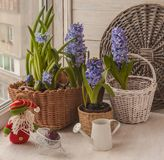 Hyacinths   on the window next to the watering can and gnome Royalty Free Stock Images
