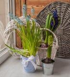 Hyacinths  on the window Royalty Free Stock Photos