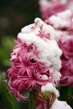 Hyacinthus  Royalty Free Stock Images