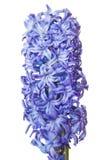 Hyacinthus Lizenzfreie Stockfotos