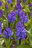 Hyacinthus bleu Photos libres de droits