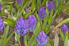 Hyacinthus blu Fotografie Stock