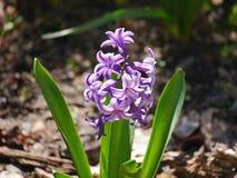 Hyacinthus-Blume Stockfoto