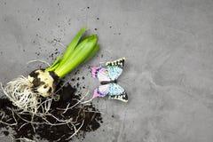 Hyacinthus-Blumenzwiebel mit Wurzeln und butterly stockfotos