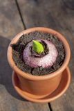 Hyacinthus Stock Image