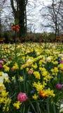 Hyacinthus e tulipas Imagem de Stock