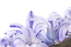 Hyacinthus Flower Stock Photography