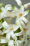 Hyacinthus flower blooms Royalty Free Stock Photography