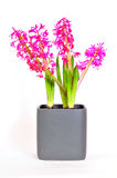Hyacinthus flower  Easter spring Stock Photos