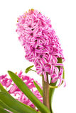 Hyacinthus flower, isolated Royalty Free Stock Images