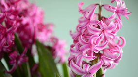 Hyacinthus flower. On a  turn table stock video footage