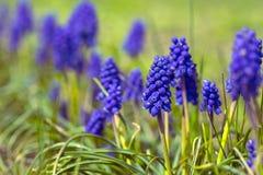 Hyacinthus Royalty Free Stock Photos